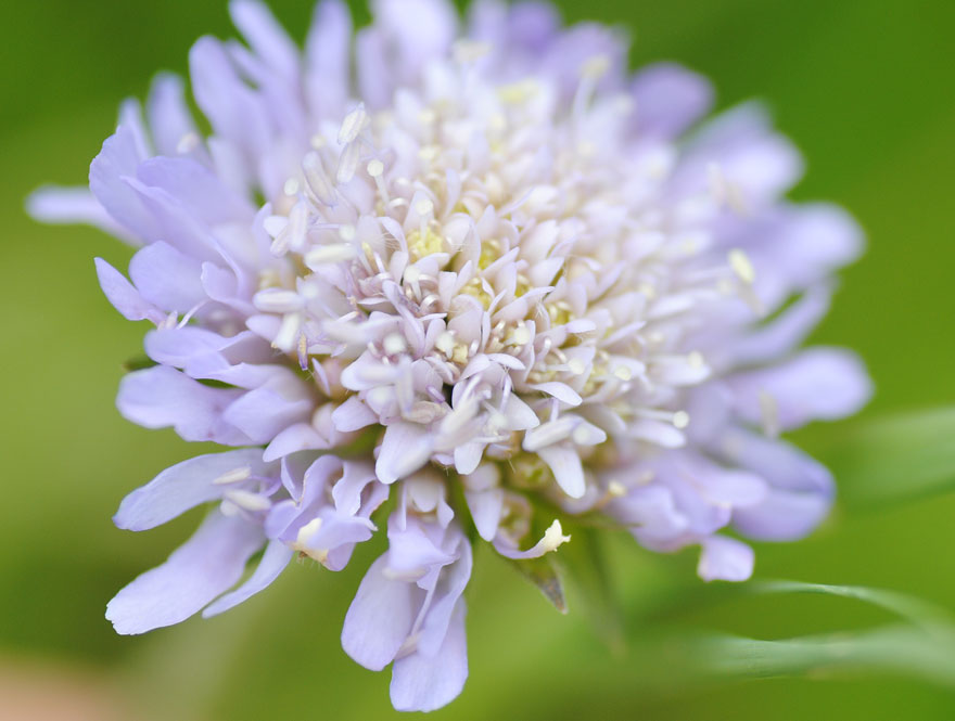 Field Scabious wildflower