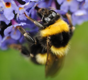 Bumblebee on buddleia