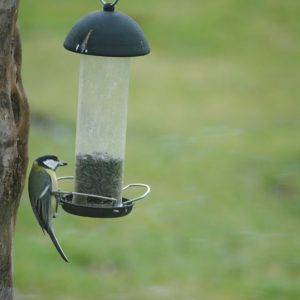 Great tit on feeder