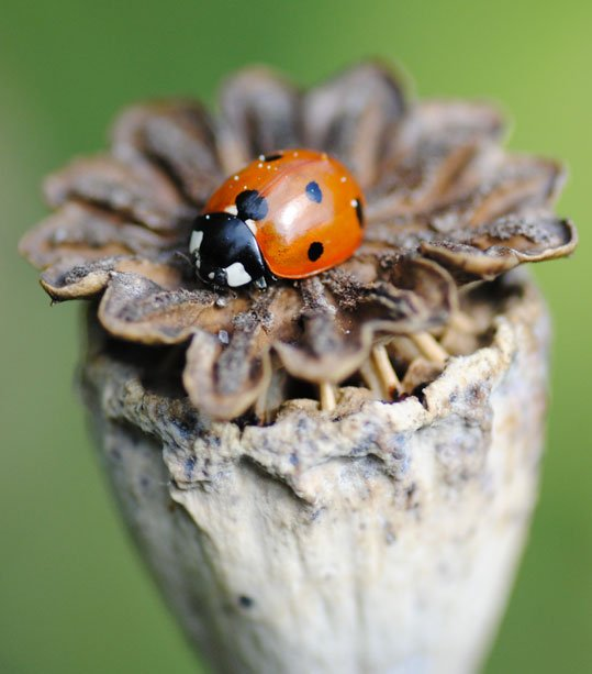 Ladybird on Poppy seedhead