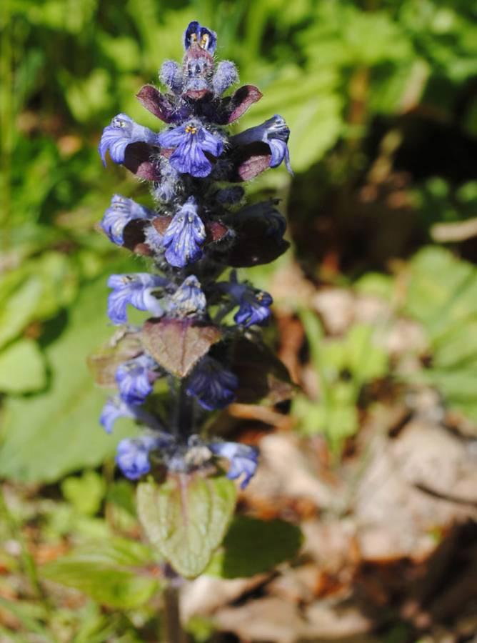 Bugle wildflower, June wedding