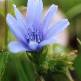 Chicory wildflower, June wedding