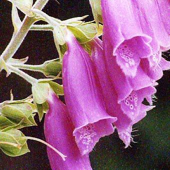 Wild Foxglove wildflower, June wedding