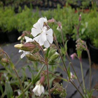 White Campion wildflower, June wedding