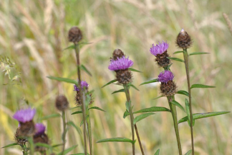 Lesser Knapweed wildflower