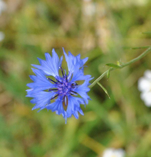 Wild Cornflower