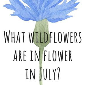 What wildflower flower in July