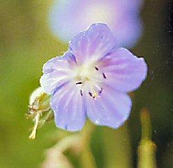 Meadow Cranesbill wildflower