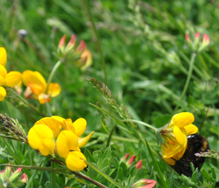 Shorthaired Bumblebee on Birdsfoot trefoil
