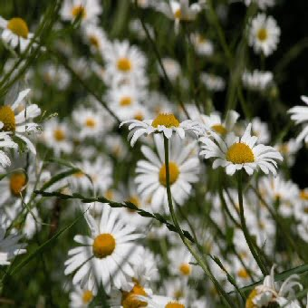 Ox-eye Daisy wildflower