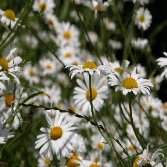 Ox-eye Daisy wildflower