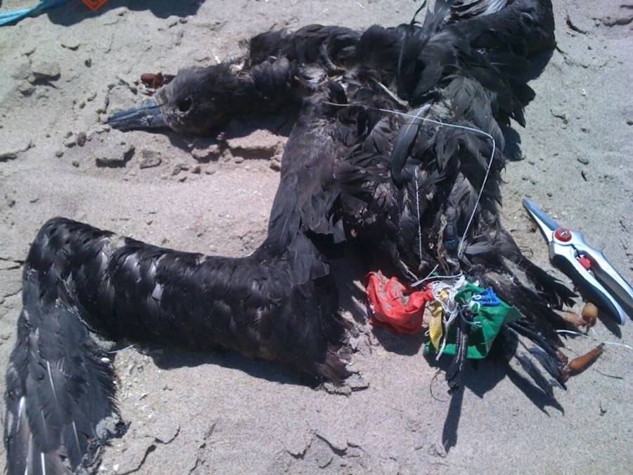 Black-footed albatross killed by balloon