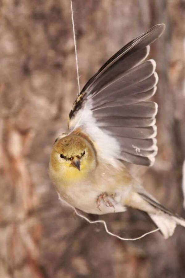 Goldfinch caught in balloon string