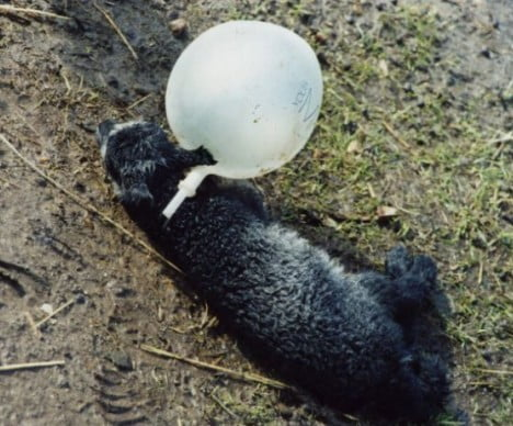 Lamb entangled in balloon