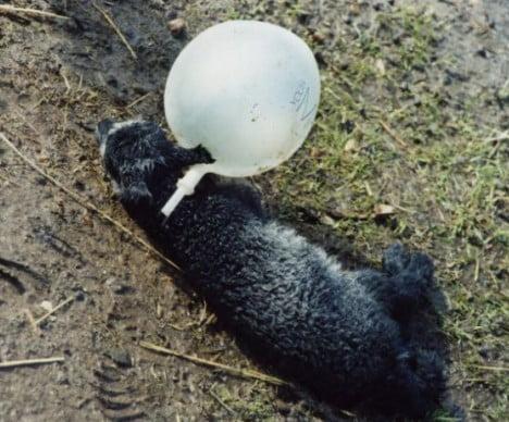 Lamb entangled in balloon