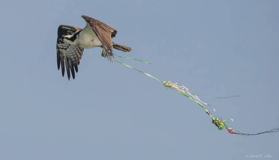 Osprey entangled with balloon debris