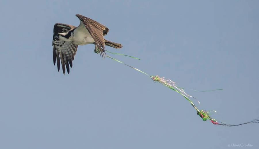 Osprey entangled with balloon debris