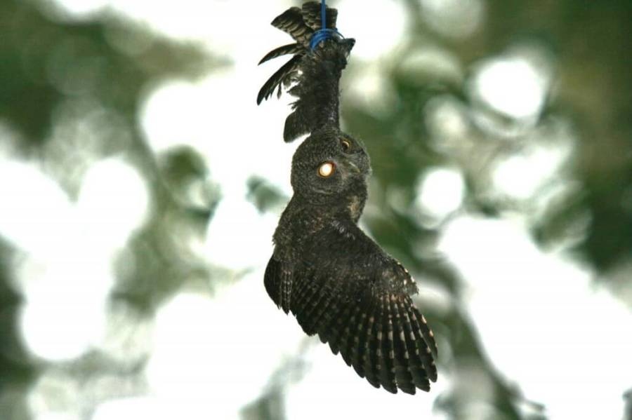 Young owl entangled in balloon string