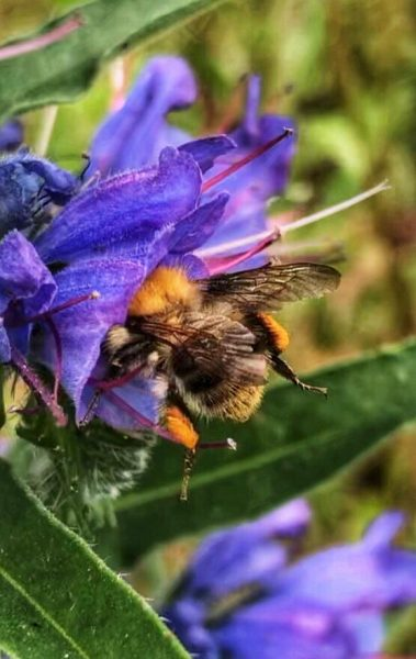 Bee in Viper's Bugloss