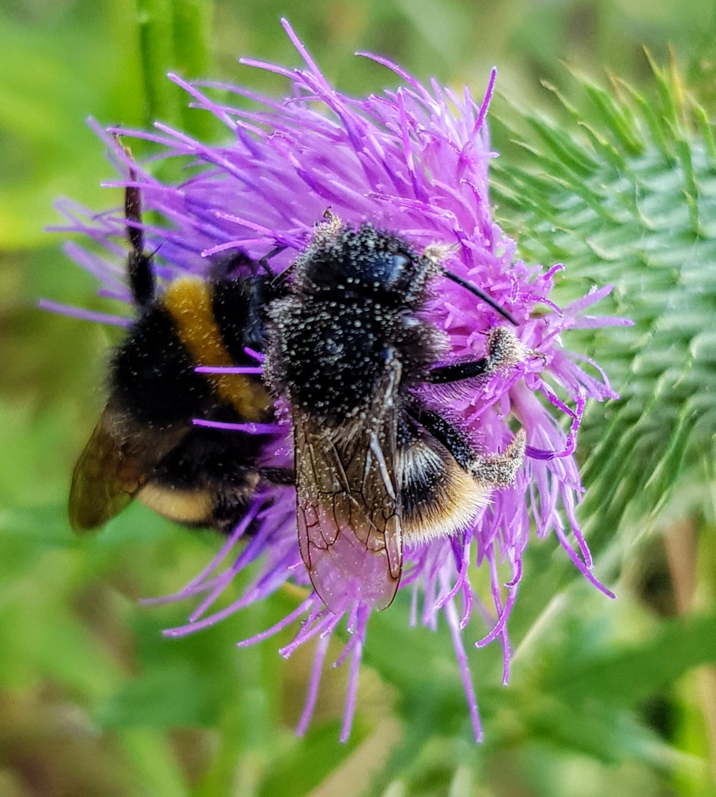 Two bees on thistle